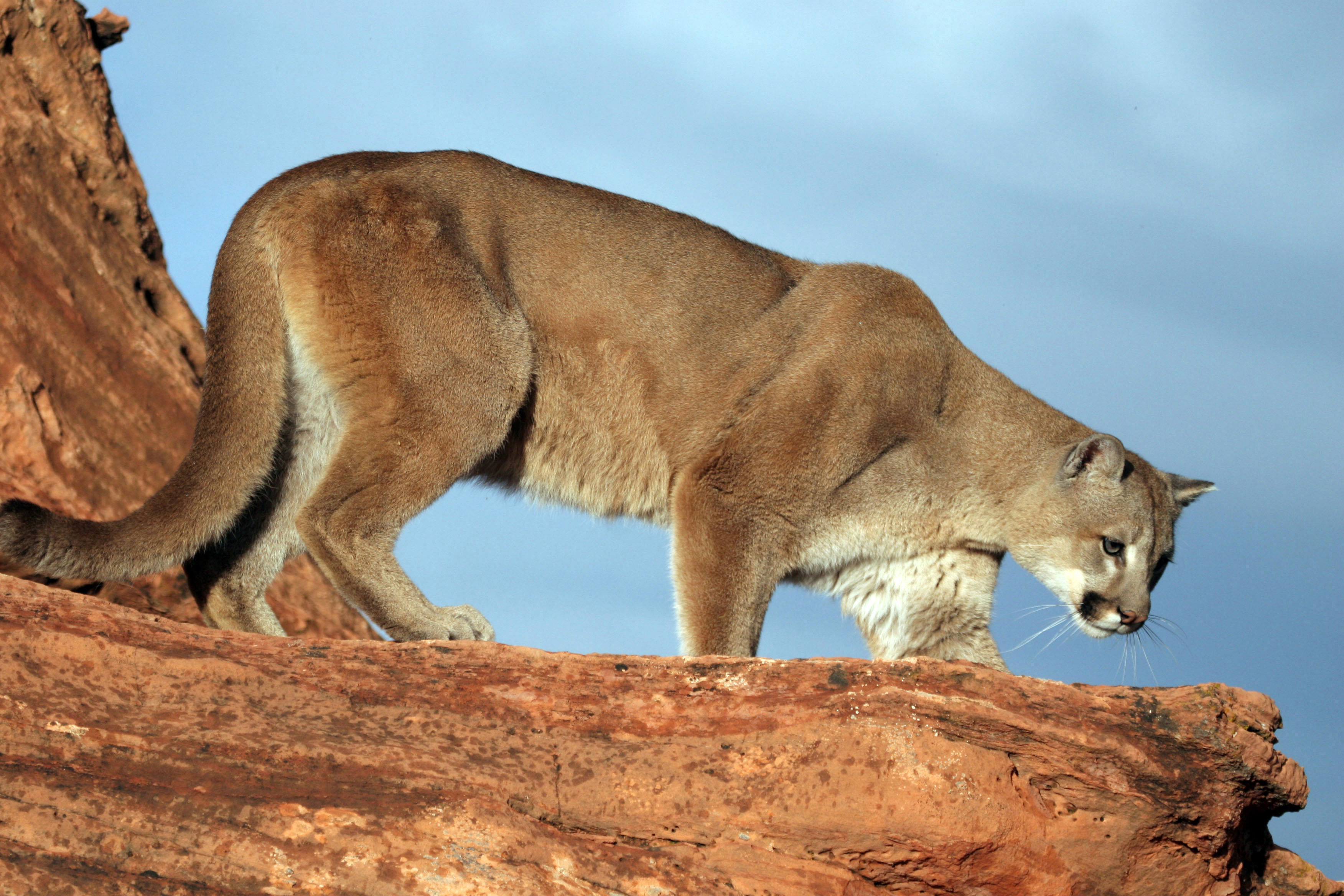The total number of cougars taken during Utah's upcoming hunting season should be similiar to the 371 cougars taken this past season. Undated | Photo courtesy of Utah Division of Wildlife Resources, St. George News