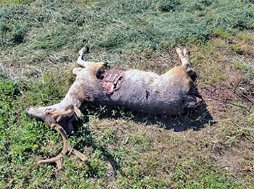 This buck is believed to have been shot and left to waste around the end of August 2016, in a field near Beaver, Utah, August 2016 | Photo courtesy of the Utah Division of Wildlife Resources, St. George News