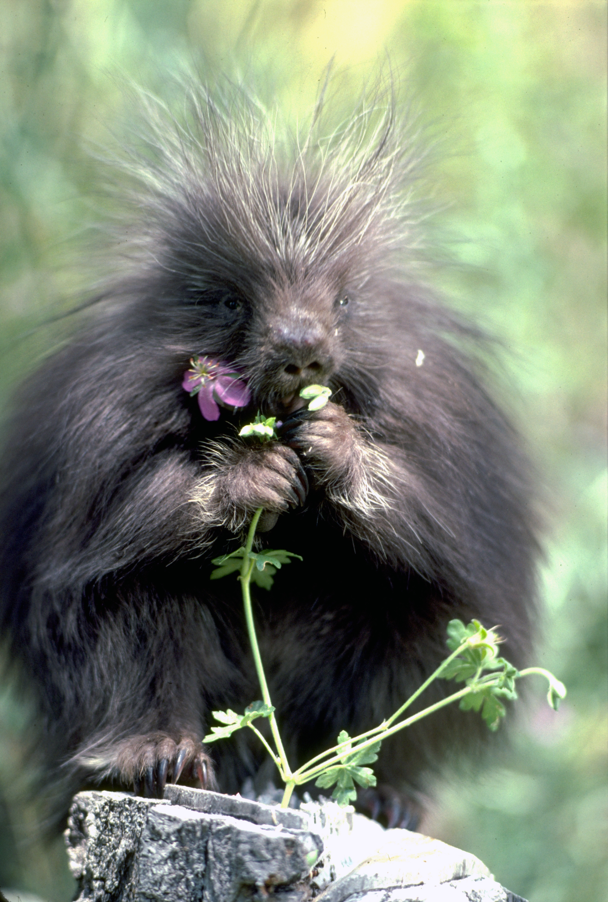 North American porcupine in Utah. Date not specified. | Photo by Lynn Chamberlain, Utah Division of Wildlife Resources, St. George News