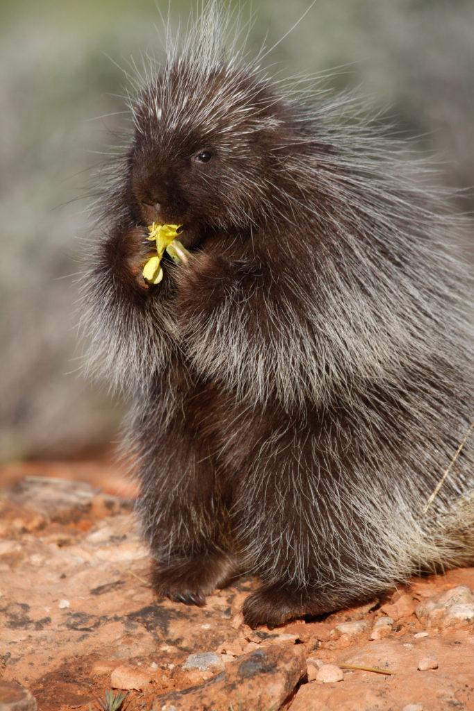 porcupine - Lynn Chamberlain-DWR - StGeorgeNews.com