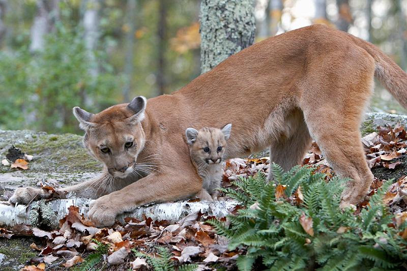 """The Utah Wildlife Board has increased the number of cougar hunt permits available this year. The Utah Humane Society argues hunting cougars is merely """"trophy hunting"""" and does not contribute to wildlife management. Date and location of photo not provided   Photo courtesy Utah Humane Society, St. George News"""