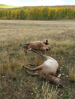 This cow and calf elk were shot and left to waste during the muzzleloader deer season in the Kolob Pasture area of Cedar Mountain near Cedar City, Sept. 30, 2016 | Photo courtesy of the Utah Division of Wildlife Resources
