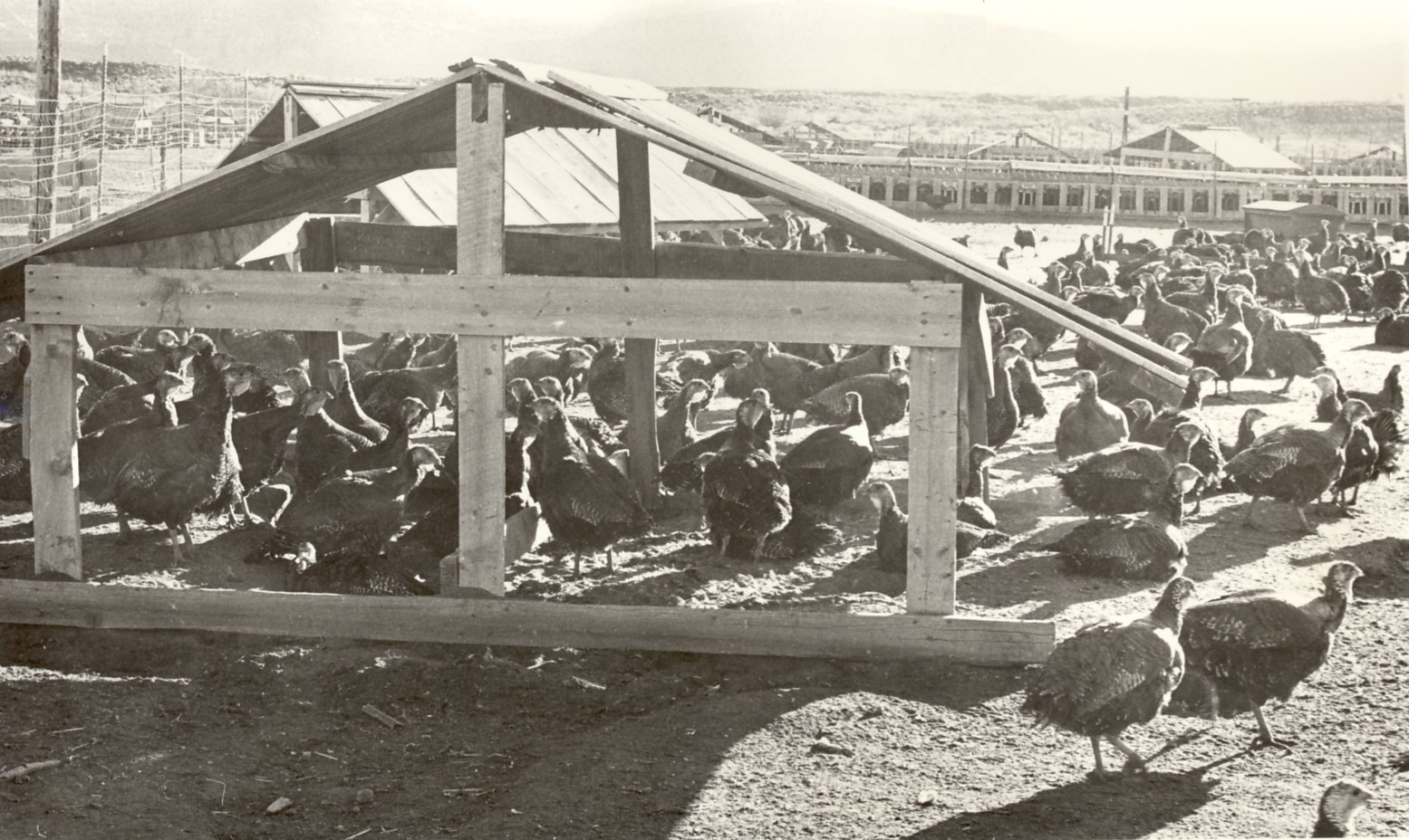 A turkey farm in Washington County, Utah, date and location unspecified | Photo courtesy of Washington County Historical Society, St. George News