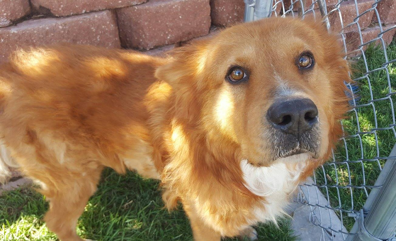 Toro is a 5-year-old chow mix. He was brought to the shelter as a stray. He does well with some female dogs. He is a chill dude and very loving. Come up to the shelter and meet Toro! Description provided by St. George Animal Shelter, St. George, Utah, currently posted as available (status may change) as of Nov. 25, 2016 | Photo courtesy of St. George Animal Shelter, St. George News