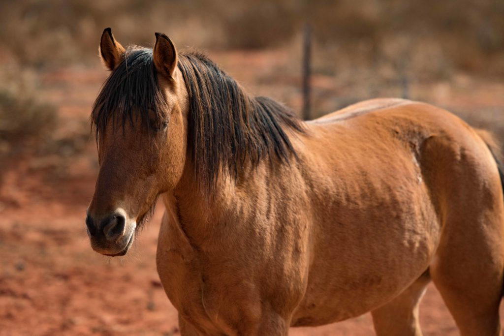 """Hickory,"" one of the mustangs at Kayenta Korrals, Ivins, Utah, Oct. 29, 2016 