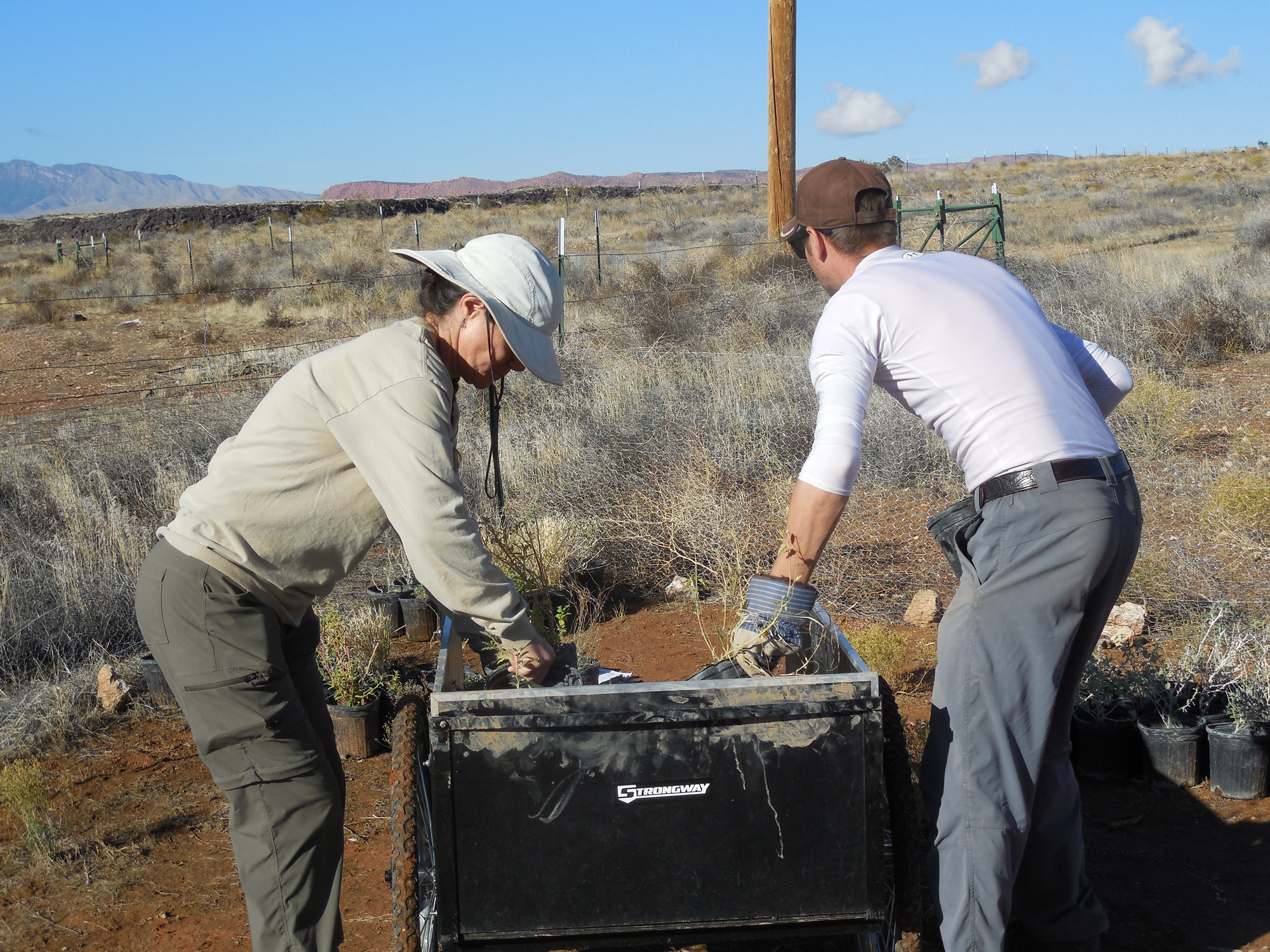 L-R, Ann McLuckie and Rob Bowers, of the Utah Division of Wildlife Resources, load up a cart with native plants as part of a habitat rehabilitation effort in the Red Cliffs Desert Reserve, Washington County, Utah, Nov. 22, 2016 | Photo by Julie Applegate, St. George News