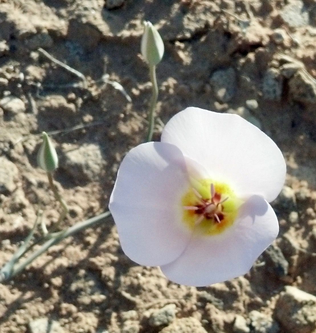 A sego lily grows in the desert near the Bear Claw Poppy trail in St. George, Utah, Apr. 13, 2013 | Photo by Joyce Kuzmanic, St. George News