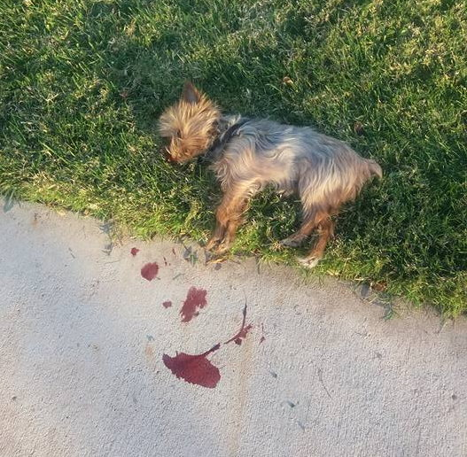 A small dog lies dead after being killed by a man with pruning shears, St. George, Utah, Nov. 11, 2016 | Photo courtesy of Nancy Jean, St. George News