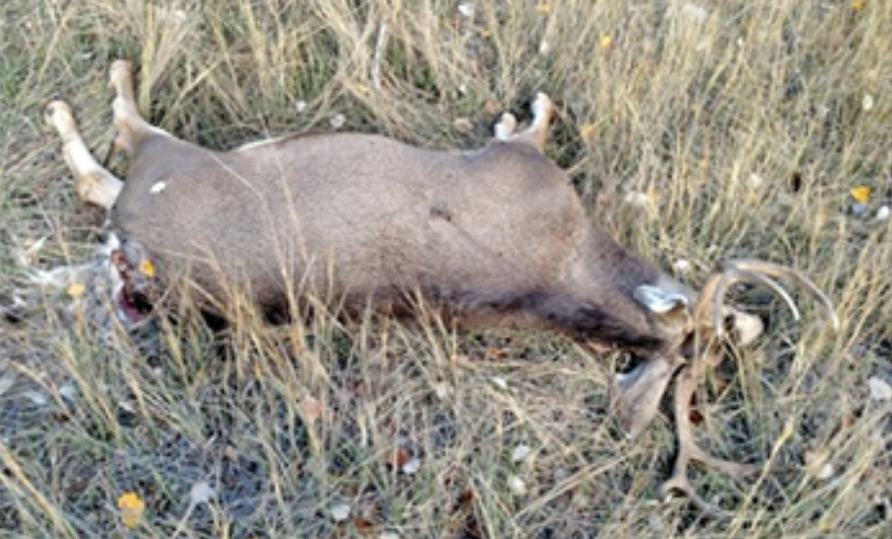 This 3X4 buck is believed to have been poached on a CWMU along Highway 9 in Kane County, Utah, Oct. 24, 2016 | Photo courtesy of Utah Division of the Wildlife Resources, St. George News