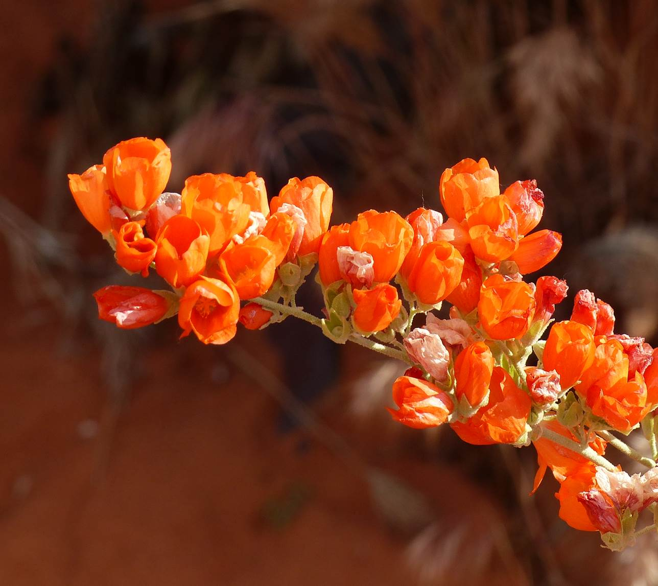 Globe mallow in the Red Cliffs National Conservation Area, St. George, Utah, photo undated | Photo courtesy of the Bureau of Land Management, St. George News