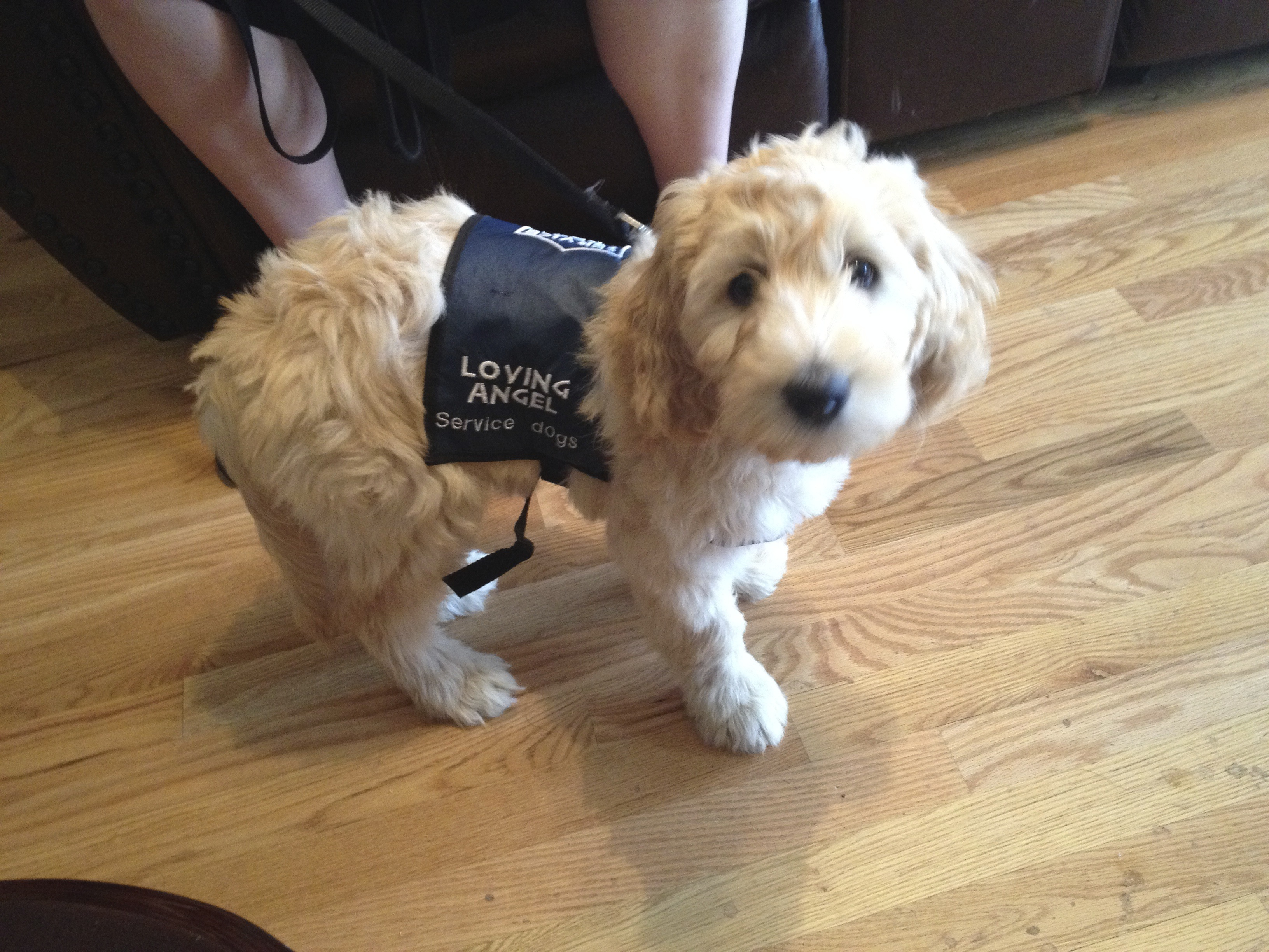 Puppy J.J. in training, Loving Angel Service Dogs, St. George, Utah, May 24, 2015 | Photo courtesy of Cathy Powell, St. George News