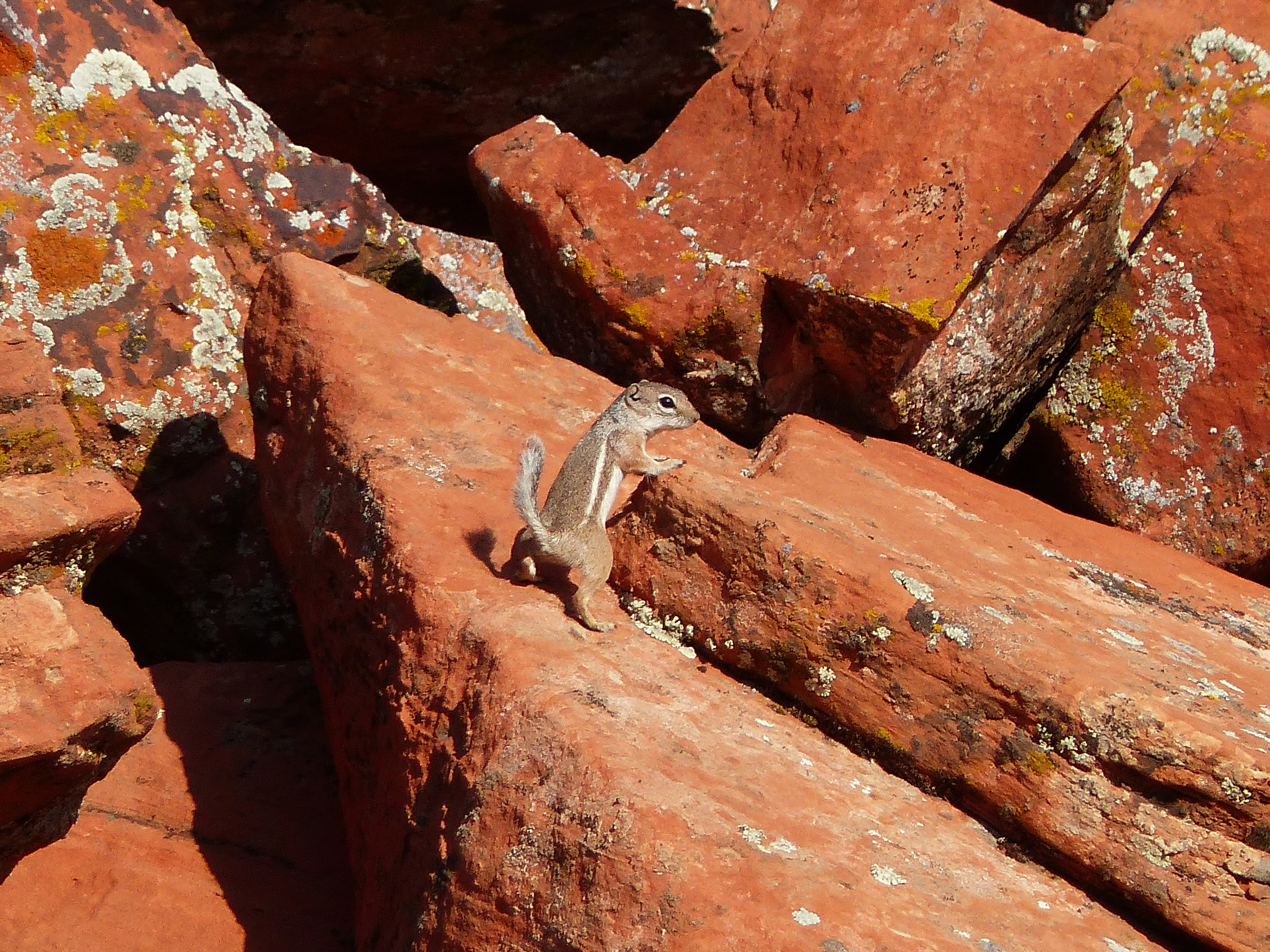 A white-tailed antelope squirrel in the Red Cliffs National Conservation Area, St. George, Utah, photo undated | Photo by John Kellam, Bureau of Land Management, St. George News