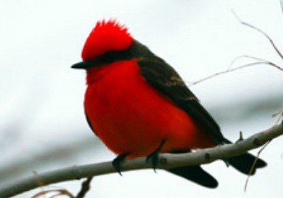 File photo: Vermilion flycatchers are among the types of birds attendees may see at this year's Winter Bird Festival, date and location of photo not specified | Photo by Lynn Chamberlain, courtesy of the Utah Division of Wildlife Resources, St. George News