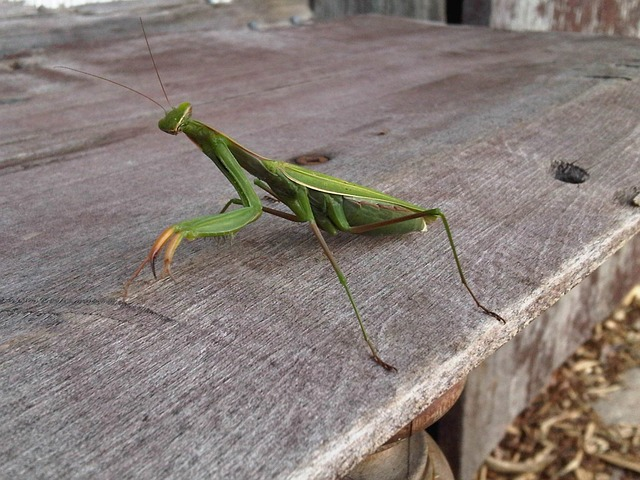 Praying mantis, Dec. 24, 2012, location unspecified | Photo courtesy of PublicDomainPictures via Pixabay, St. George News