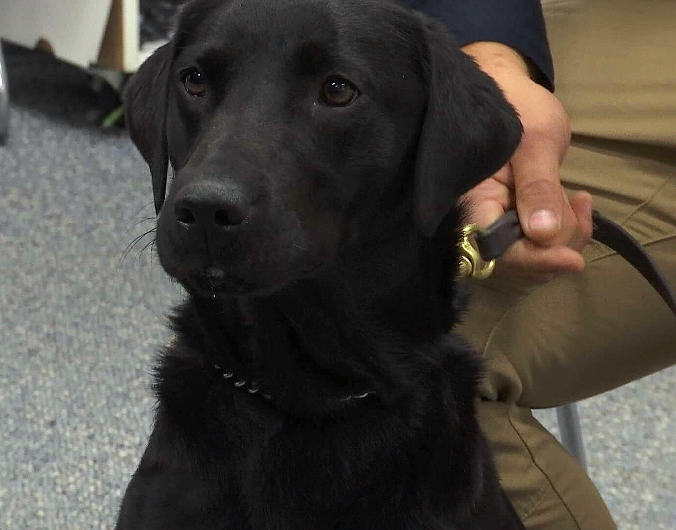 Police K-9 Officer Emma, a 2-year-old Labrador Retriever, is the St. George Police Department's newest recruit, St. George, Utah, Dec. 3, 2017 | Photo by Sheldon Demke, St. George News