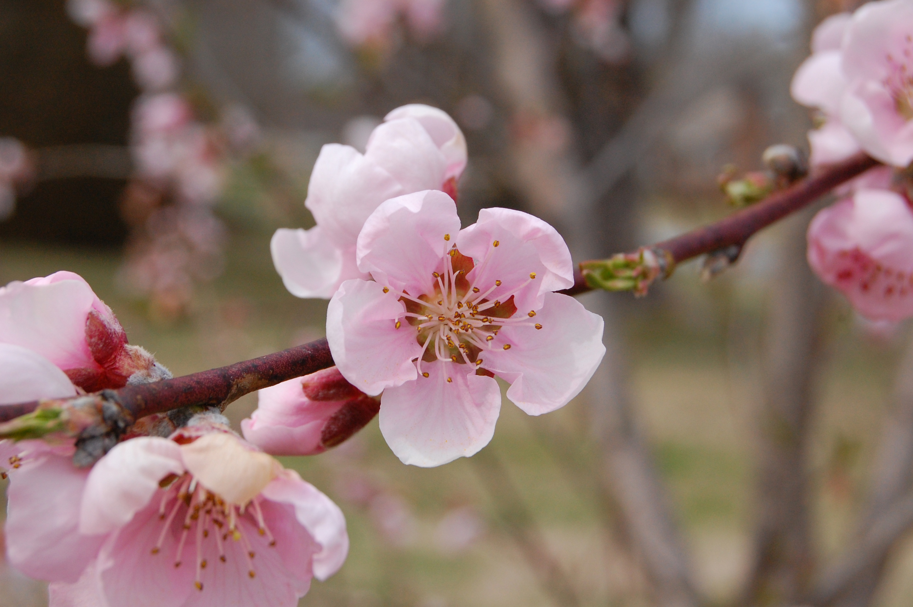 Peach blossom | Wikipedia, St. George News