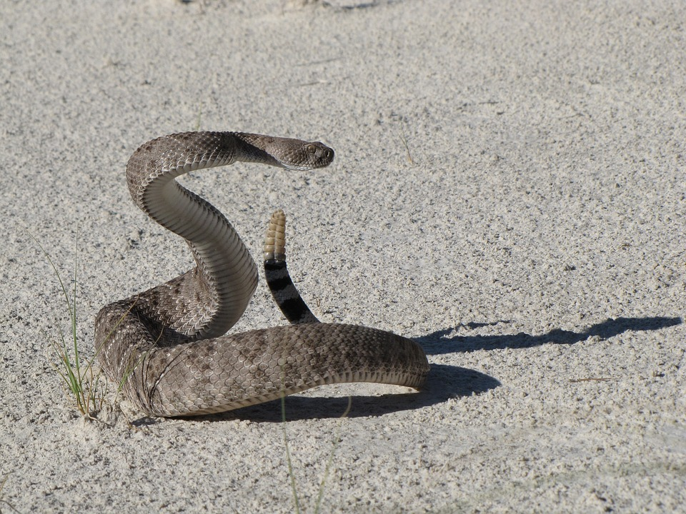 Keep yourself and your dog safe from rattlesnakes – St