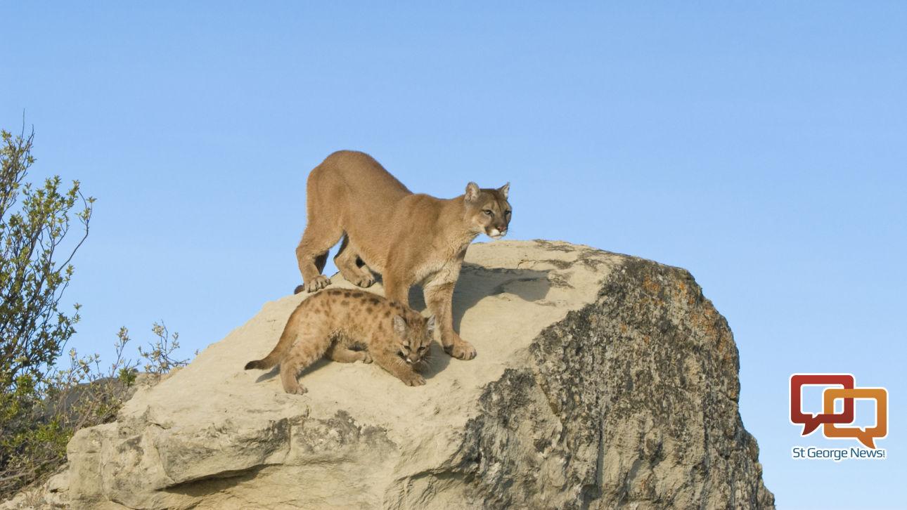 Utah cougars