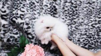 Micro mini teacup Pomeranian puppies for sale – St George News