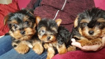 Playful Yorkie puppies for sale – St George News