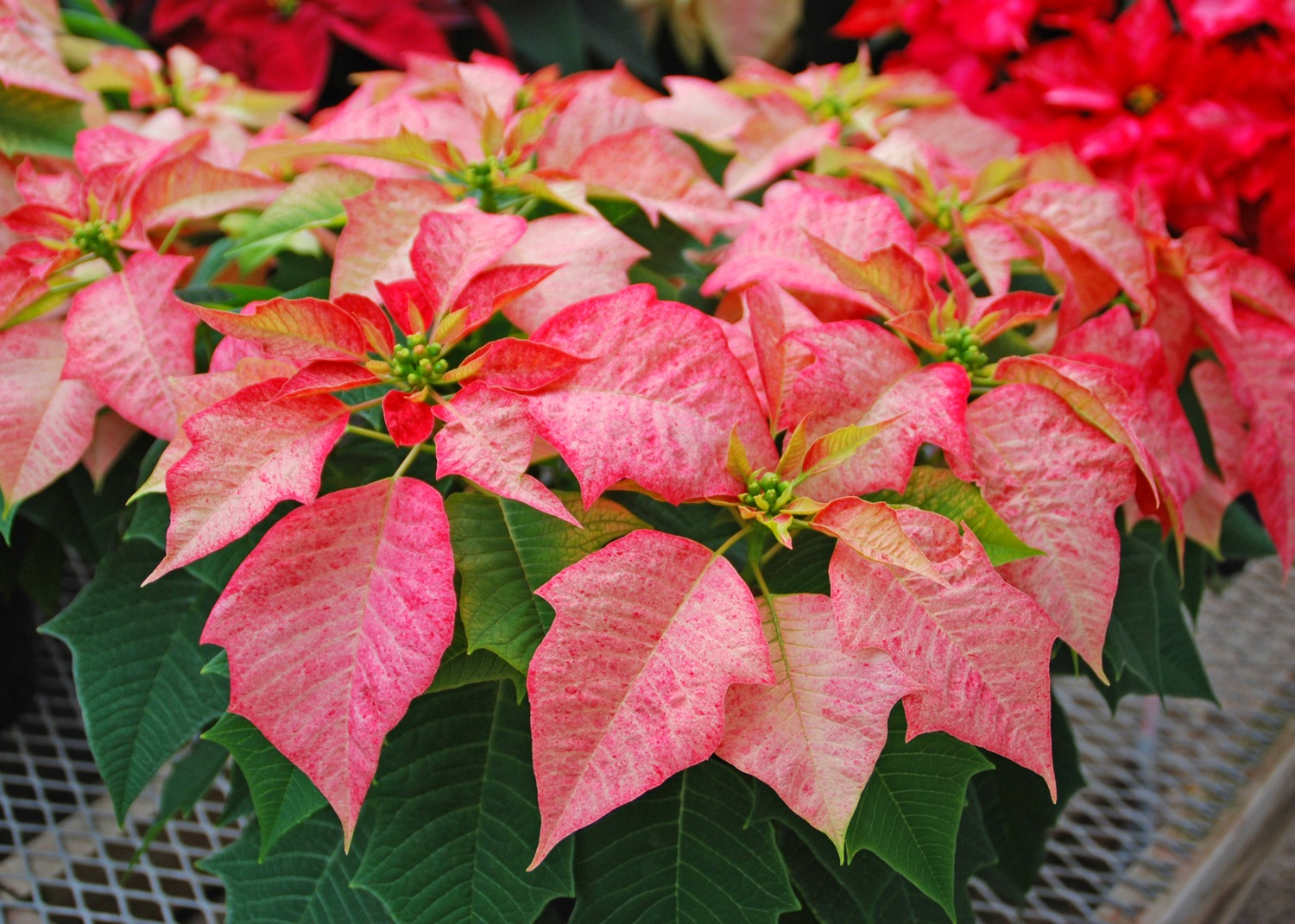 Here's how you can keep holiday plants looking good and ...