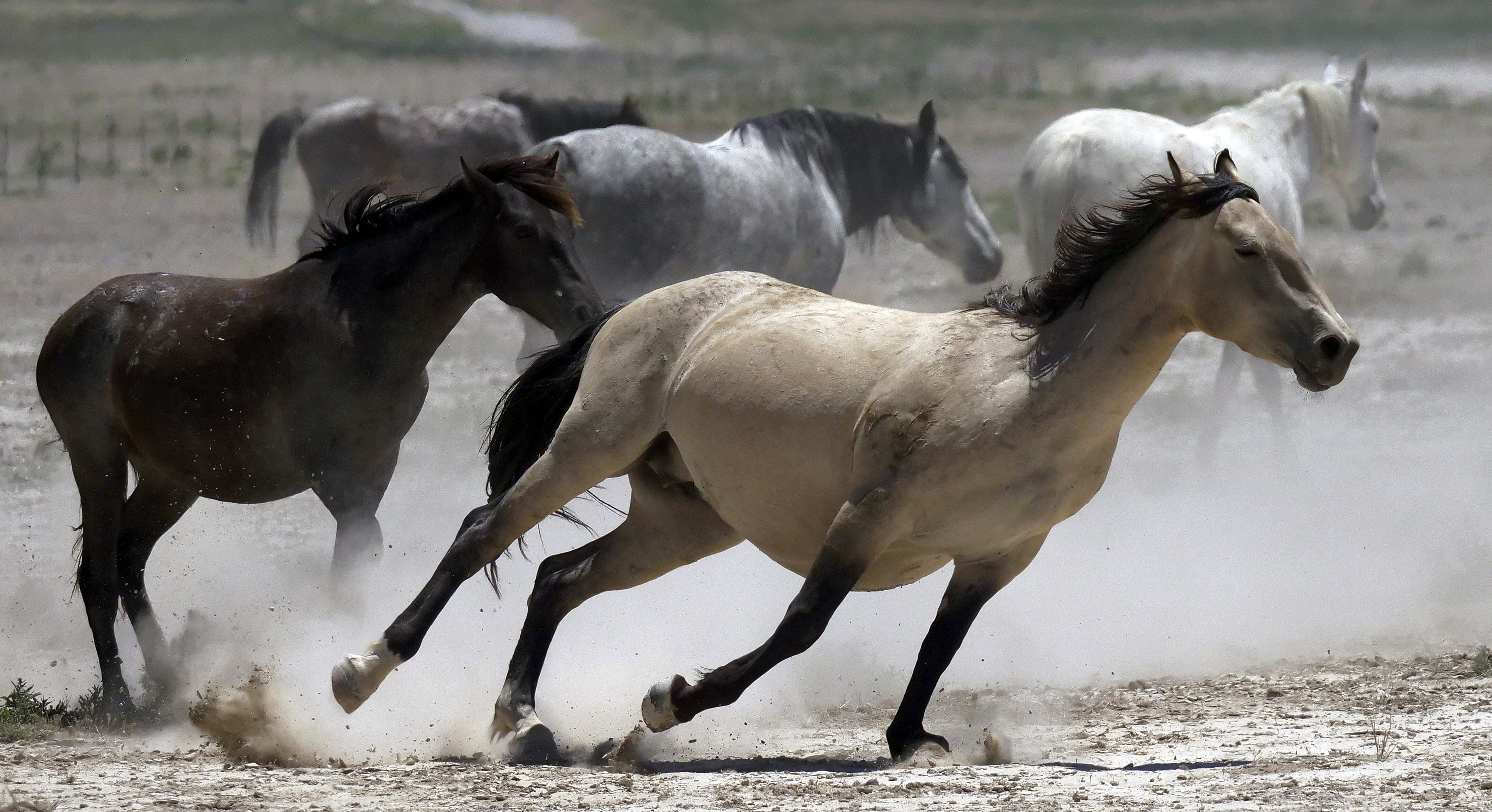 Feds aim to corral 800 wild horses from eastern Nevada range