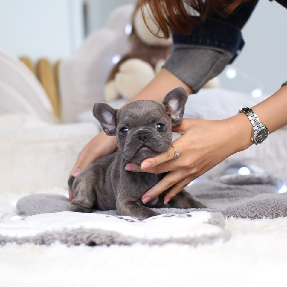 Looking For A New Pet Micro Teacup Puppies Are Available Now St