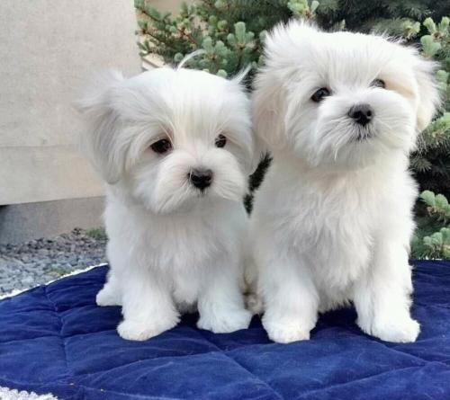 Cute Maltese Puppies are ready for a good home – Cedar City News