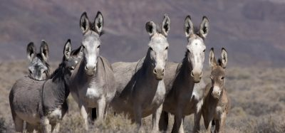 Wild burros to be gathered from Seven Springs Ranch using 'bait trap