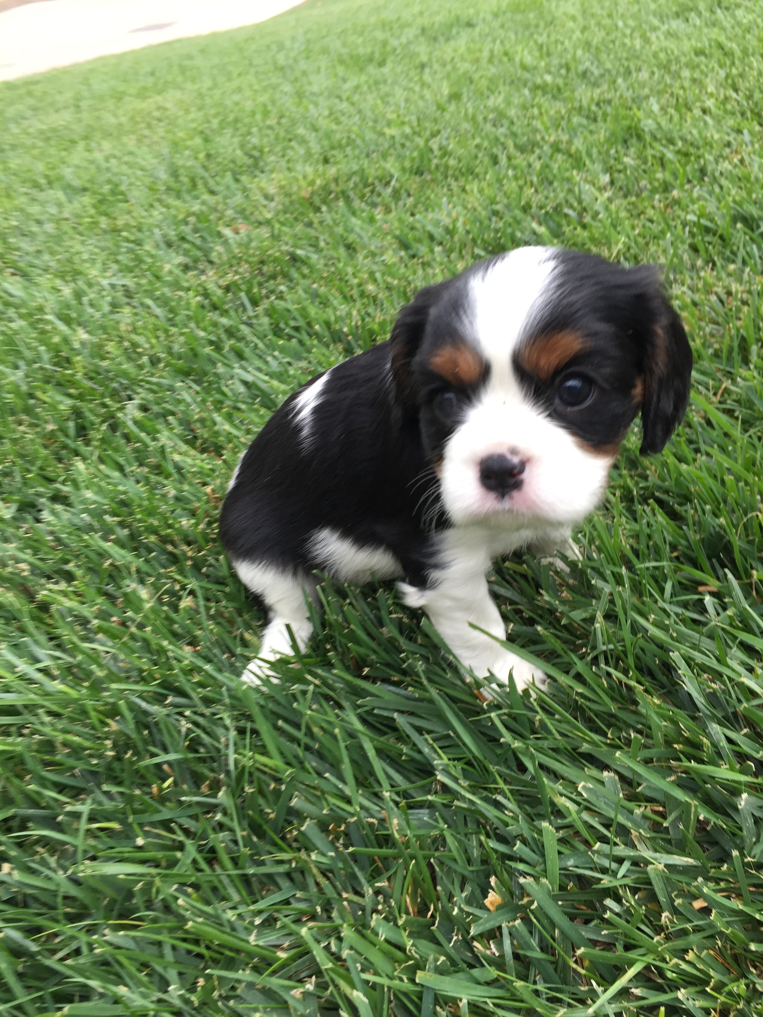 Road King For Sale >> Cavalier King Charles Spaniel Puppies – St George News
