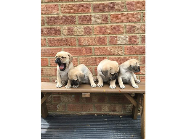 pug seattle adorable pug puppies now ready for new homez st george news 3125
